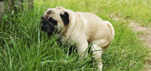 Why-dogs-eat-poop-the-most-common-reasons